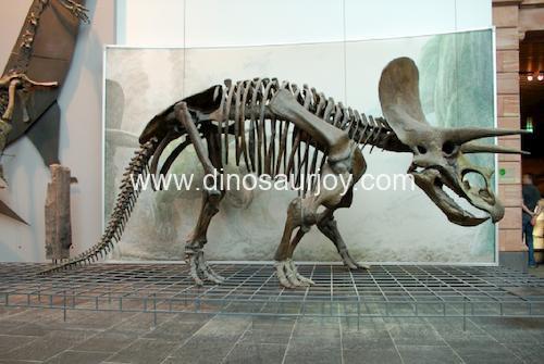 DWS001 Triceratops Skeleton